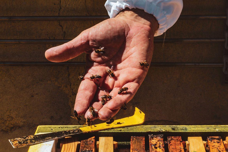 apicampu Apicultura