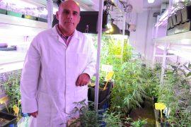 descarga cannabis 2