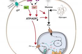 Igual que las neuronas, los astrocitos pueden regular su actividad mitocondrial