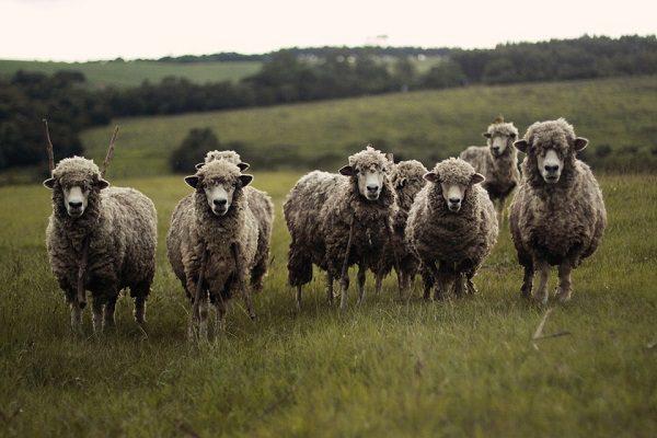 El ganado deja una huella genética, El ganado deja una huella genética, Revista NUVE